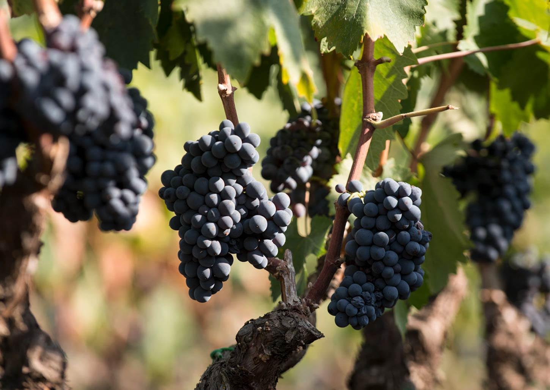 75-vendemmia-vinicola-palama_2_1450